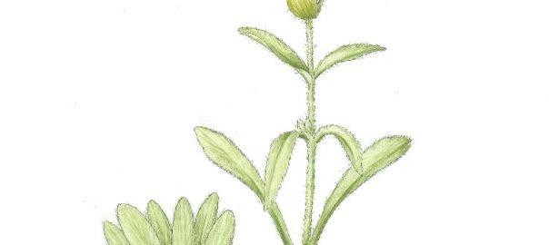 Мурсалски чай - Sideritis scardica